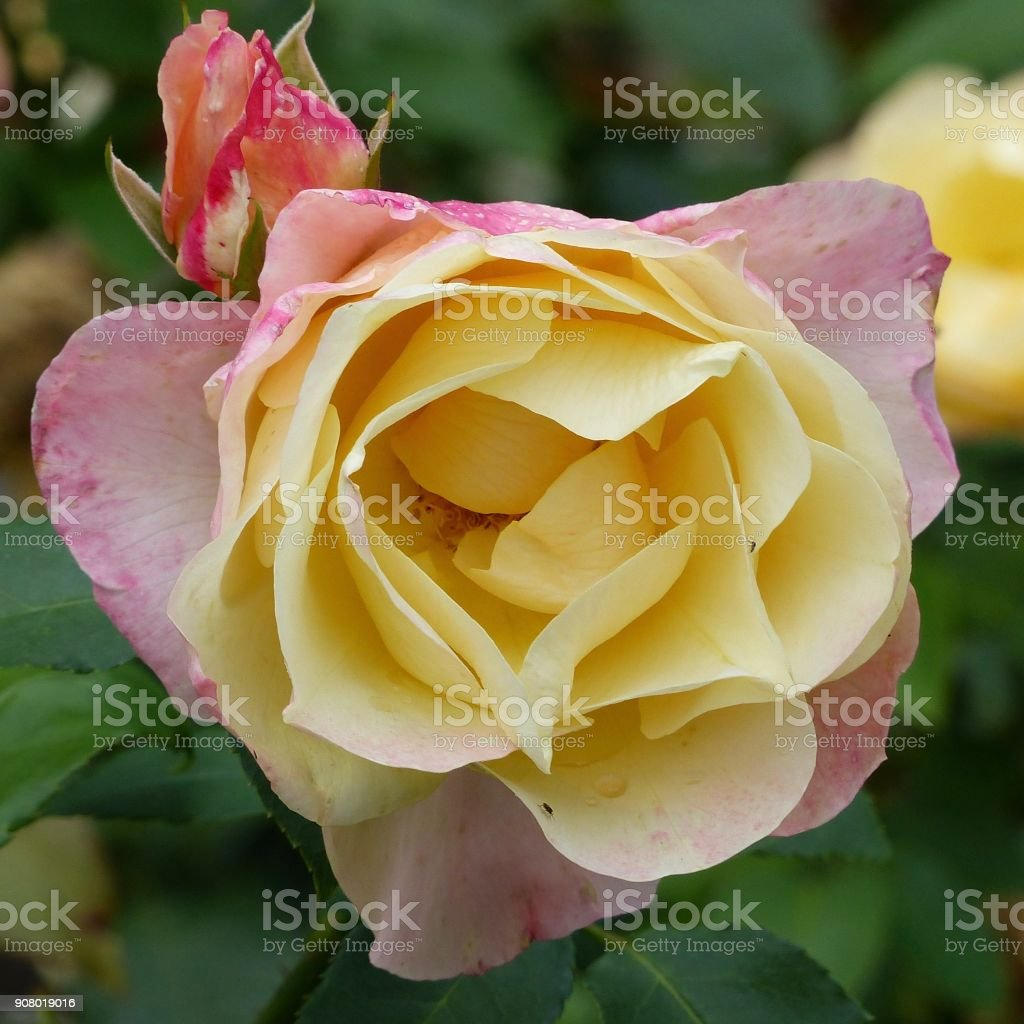 Pink rose blossom, yellow filled stock photo