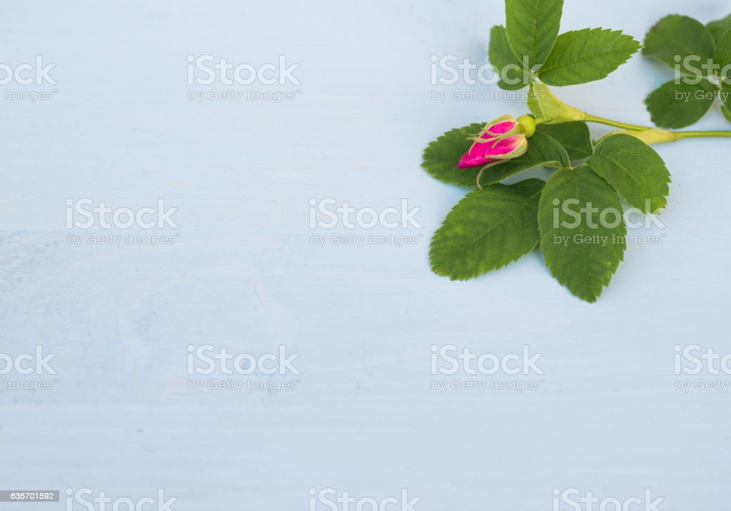 Pink Rose bud on an blue wooden background. Copy space royalty-free stock photo
