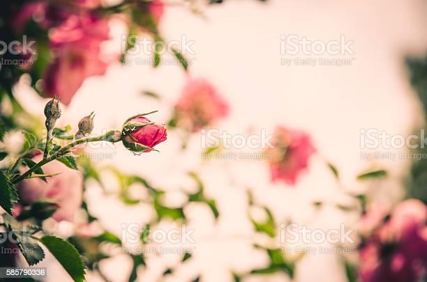 Pink rose bud tone image picture id585790336?b=1&k=6&m=585790336&s=612x612&h=0tfsnn npi7brwmjbys1f2vkrdetve  bdecxjvhywc=