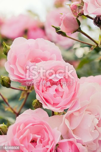 Rose bush with lots of pink roses in bloom.