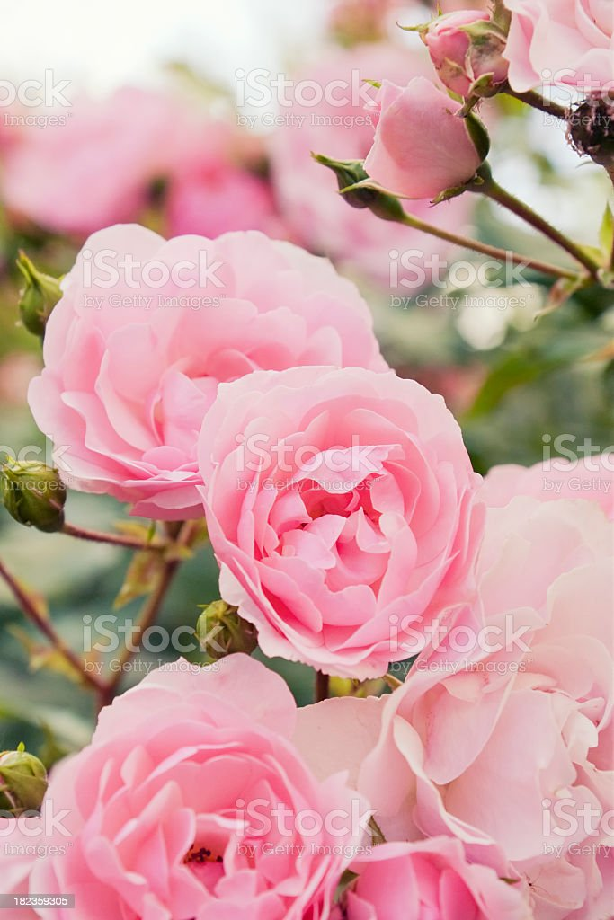 Pink rose bush stock photo