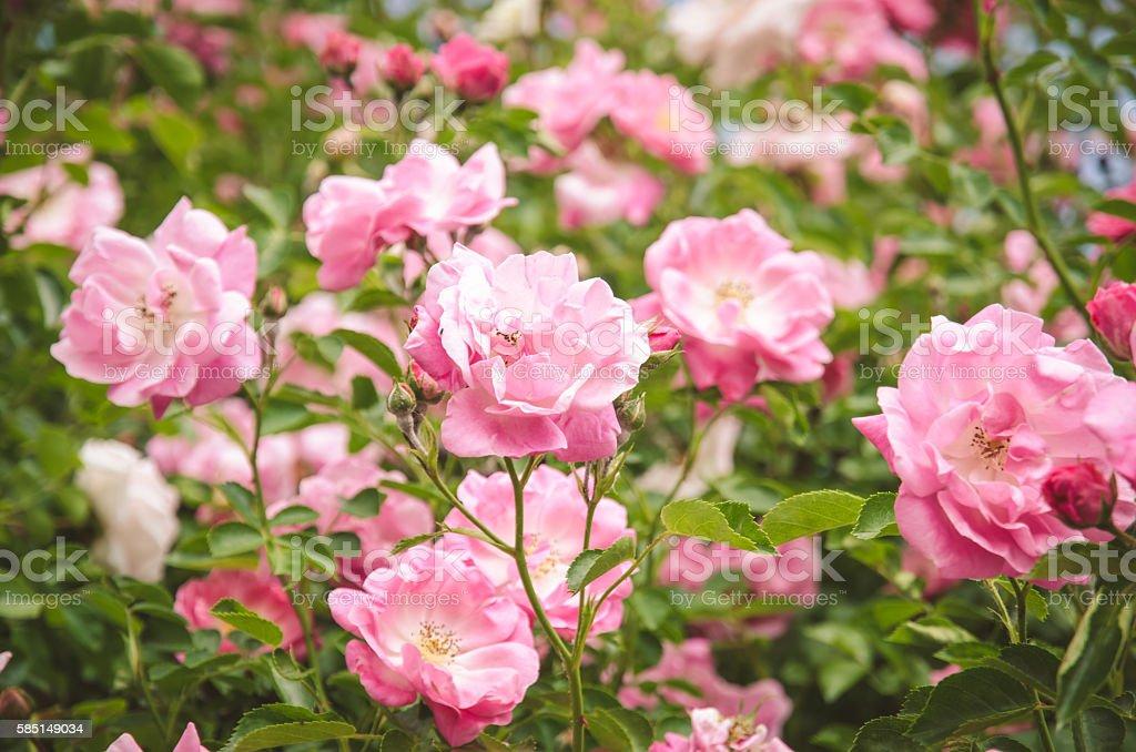 Rosa rose bush – Foto