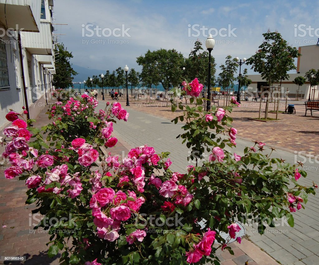 Pink rose bush profusely flourishing in the alley leading to the quay. stock photo