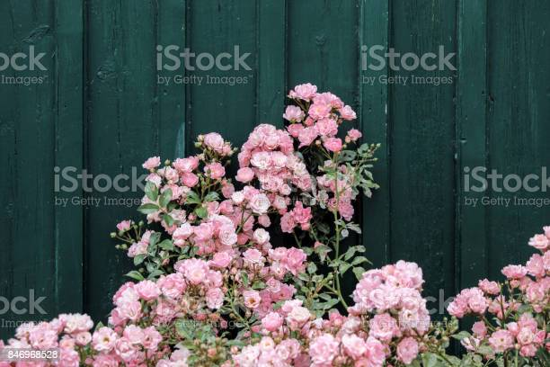 Pink rose bushes with dark green wall picture id846968528?b=1&k=6&m=846968528&s=612x612&h=eq9mbxk37zdsj5uvhbt9s4pp4enul7rrxwmuot 03xi=