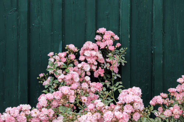 Rosa Rosen mit dunklen grünen Wand – Foto