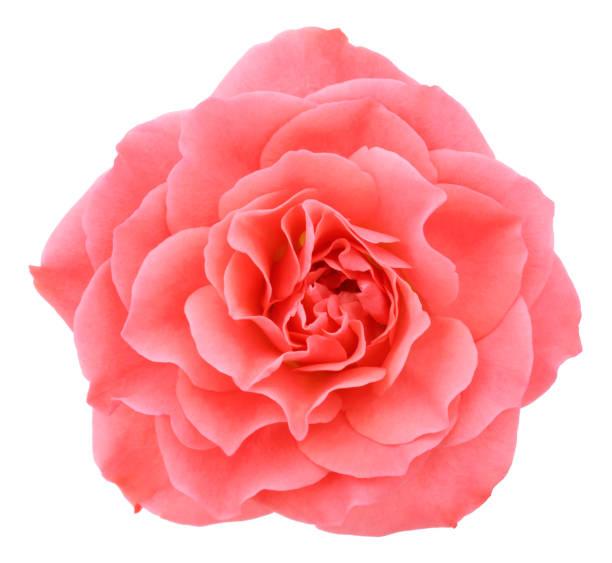 Pink rose deep focus no dust no pollen isolated on white picture id1001526166?b=1&k=6&m=1001526166&s=612x612&w=0&h=llnbuktt qrqa64jqdmasqqz0qmlpd47ogxsa7q7p0g=