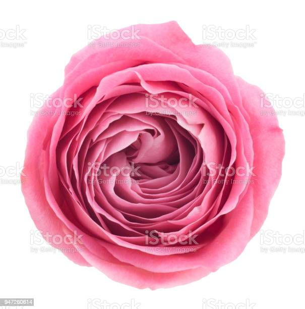 Pink rose deep focus no dust no pollen isolated on white picture id947260614?b=1&k=6&m=947260614&s=612x612&h=gyxm x gp2p1dxv9rp1ggzzcjix8m7lkqalddieannm=