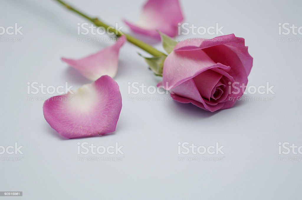 pink rose flower & petals against pale blue  paper royalty-free stock photo