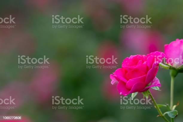 Pink rose flower at narashino city chiba prefecture japan picture id1065270806?b=1&k=6&m=1065270806&s=612x612&h=dl g9mazshpupn1d9jgj1qmpjs3gkbbmyheigla4u8s=