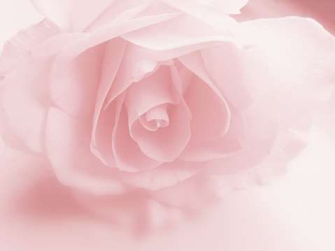 Pink rose flower background - faded pastel close-up image of petals in soft blurred dreamy style