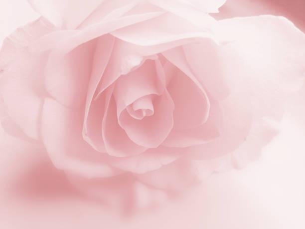 Pink rose flower background faded pastel closeup image of petals in picture id1155384776?b=1&k=6&m=1155384776&s=612x612&w=0&h=tdirgfxhf1 t8tlpxnk98hsj1cbamgni0i0oz74l46u=