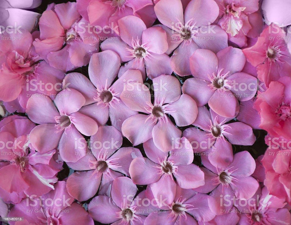 Pink Rose Flower Background (XXXL) royalty-free stock photo