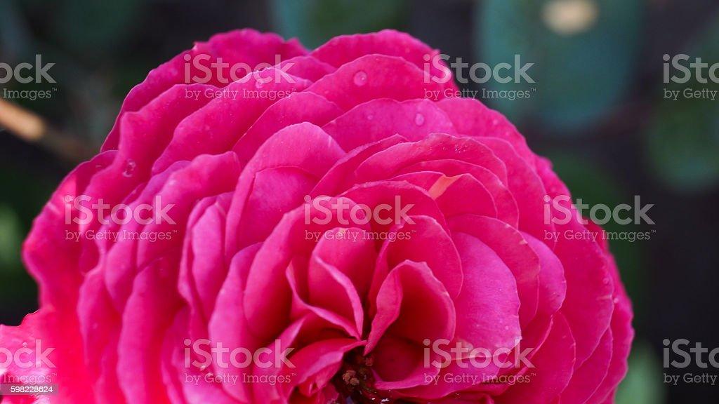 Pink Rose Flower Blooming foto royalty-free