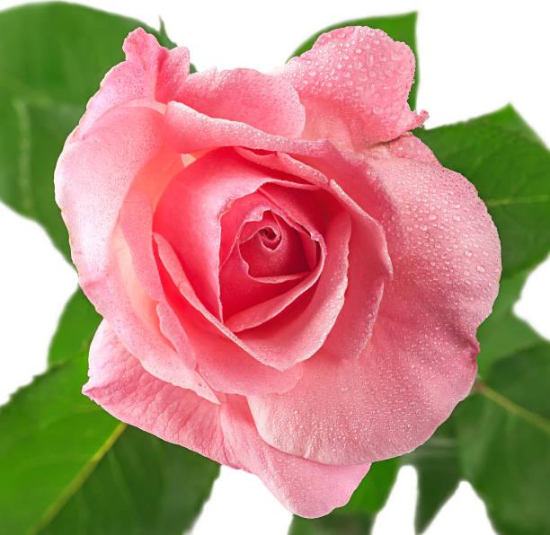 rosa rose blume tau bedeckt - gibt es morgen regen stock-fotos und bilder