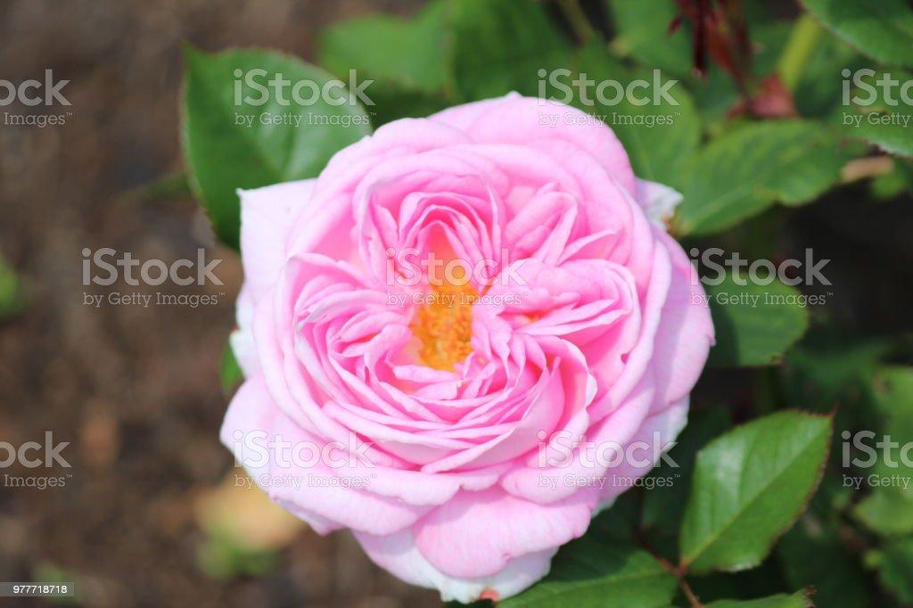 Roze roze bloem-hoofd in het rosarium in Den Haag, Nederland foto