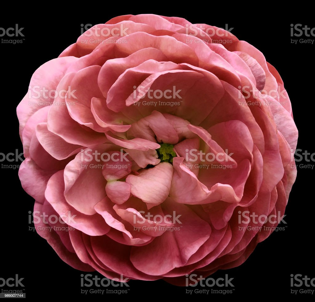 Pink rose flower isolated on the black background with clipping path adult beauty product bouquet flower plant pink rose flower isolated on the black background izmirmasajfo