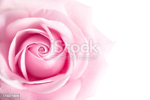 Pink Rose Flower isolated on white background with shallow depth of field and focus the center of rose flower.