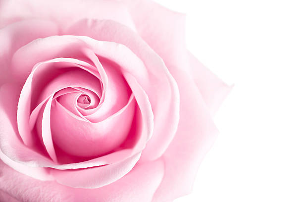 Pink rose flower isolated on white background picture id174071828?b=1&k=6&m=174071828&s=612x612&w=0&h=pg lr68 83fbvo2qapskkadj3d9e0zysnzvd0i7oor4=