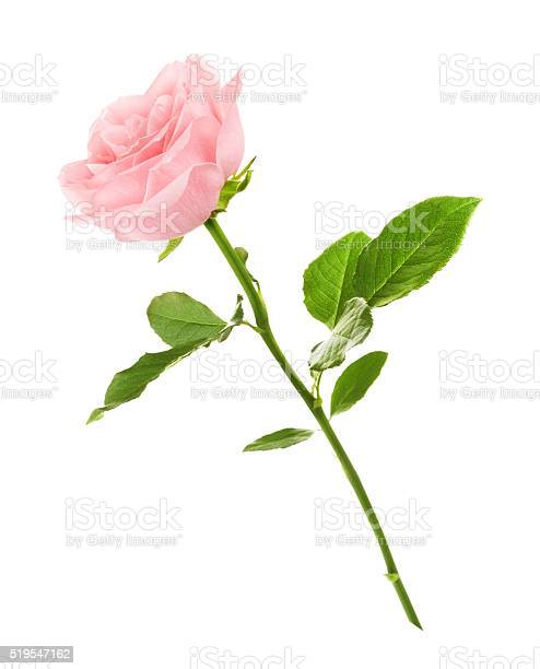 Pink rose flower picture id519547162?b=1&k=6&m=519547162&s=612x612&h=o4n tzc1lccexe6xmwillay1 tsacd3be5sv 5jox o=