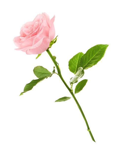 ピンクのバラの花 ストックフォト