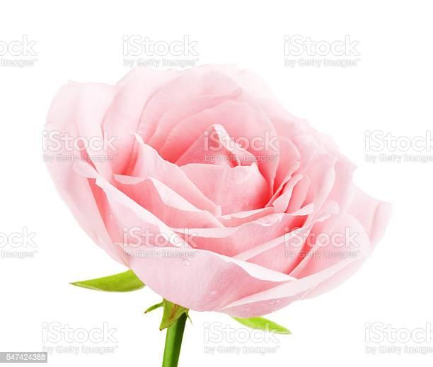 Pink rose flower picture id547424388?b=1&k=6&m=547424388&s=612x612&h=rmjfbycwskjo2tyoyyxs4th3f25b0kdjxelxx1hspdq=