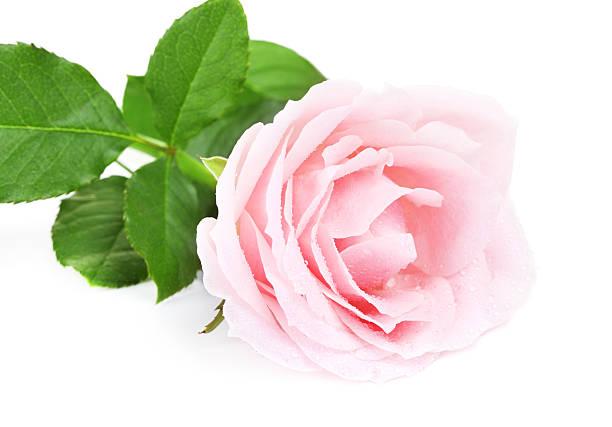 Pink rose flower picture id610237576?b=1&k=6&m=610237576&s=612x612&w=0&h=gfz7jjtuz55 hlbuueuvvr81chbullolb1t3qviv1 u=
