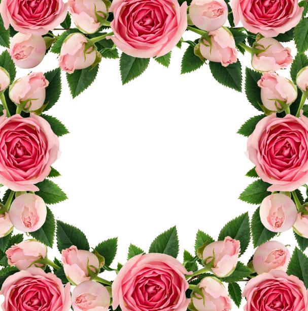 rosa rosen-blumen und knospen quadratische rahmen - foto collage geschenk stock-fotos und bilder
