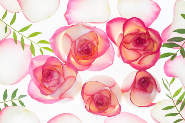 Pink rose flowers blossoms floral background stock photo