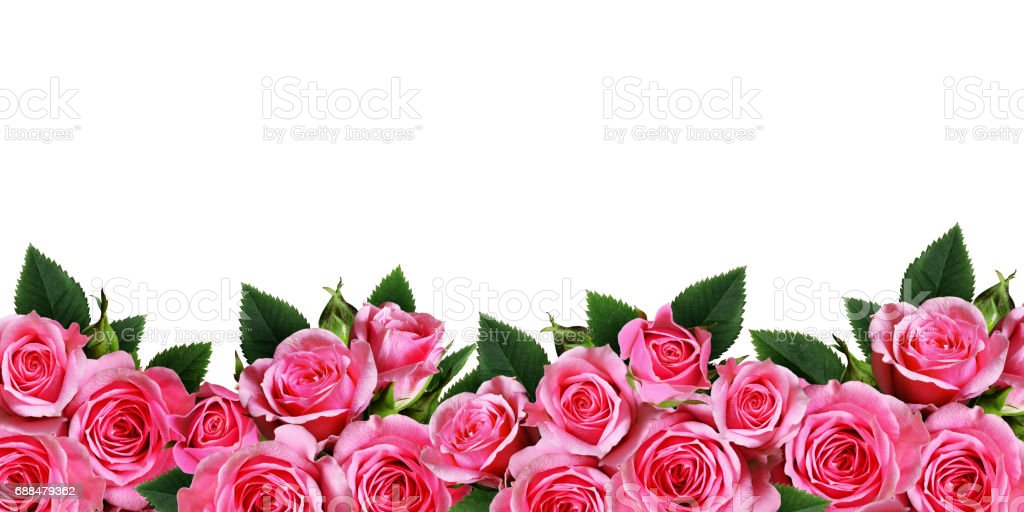 Pink Rose Flowers Border Isolated On White Stock Photo