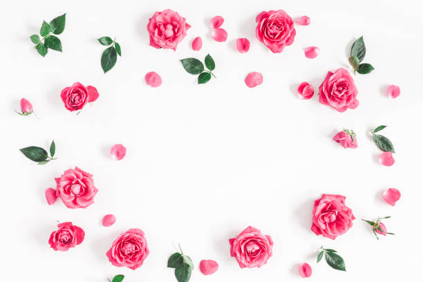 Roses fleurs roses sur fond blanc. Vue plate Lapointe, top - Photo