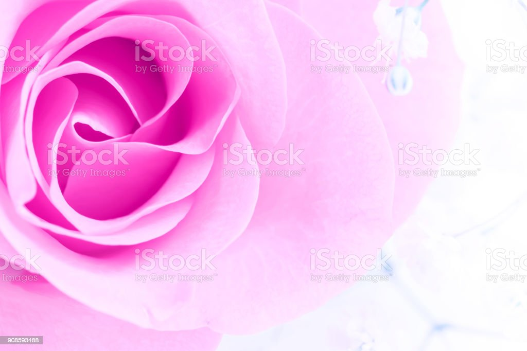 Pink Rose flowers on white background. Rosaceae.Postcard, cover, card stock photo
