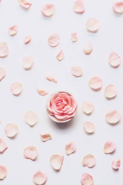 pink rose head and petals scattered on white background - pétala imagens e fotografias de stock