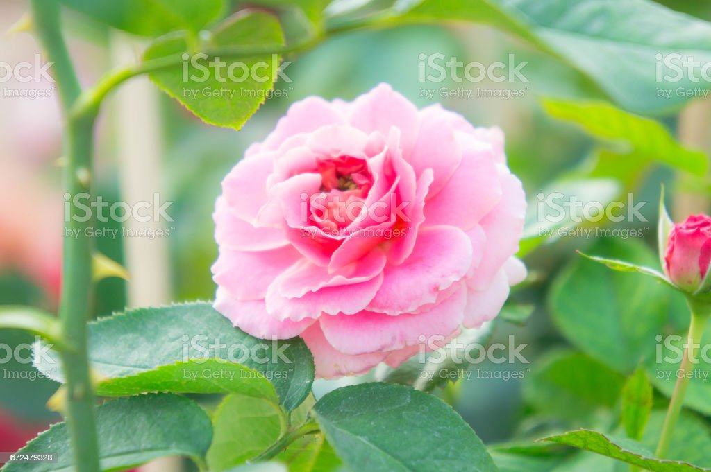 pink rose in garden , beautiful flowers in the park stock photo