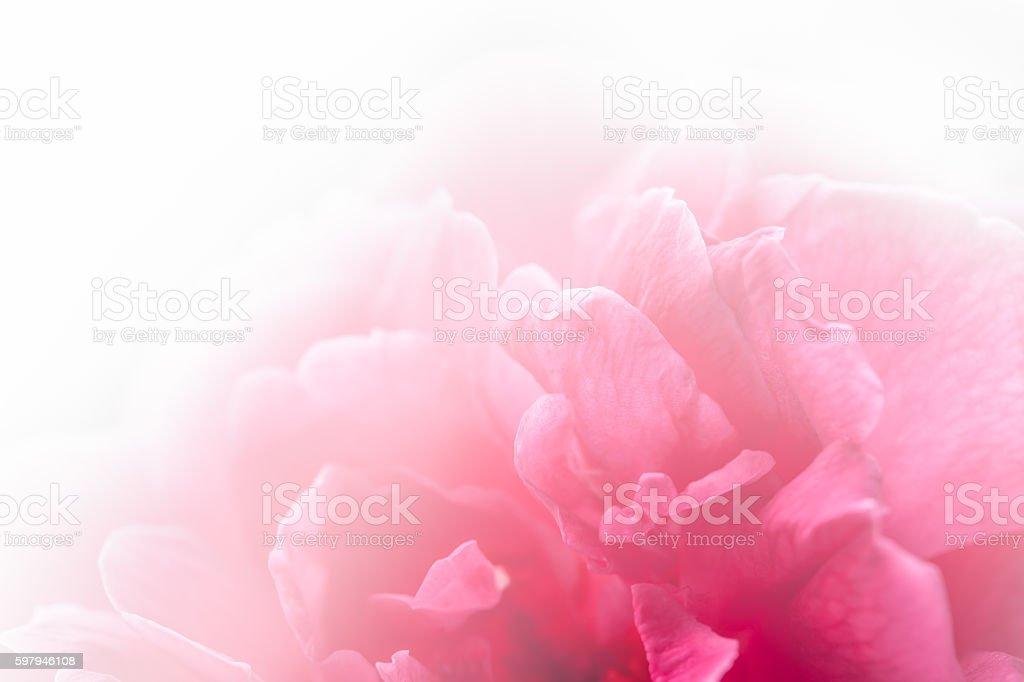 Rosas cor de rosa com luz natural foto royalty-free