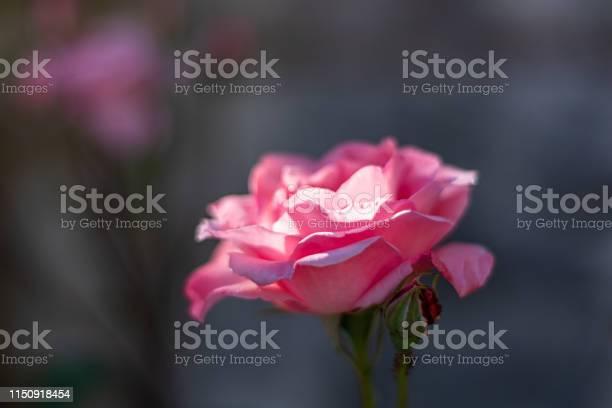 Pink rose in spring 2019 picture id1150918454?b=1&k=6&m=1150918454&s=612x612&h=4wscrznuidhb3b5acs83 gbz9qtl kyc8bd7z2ebh6c=
