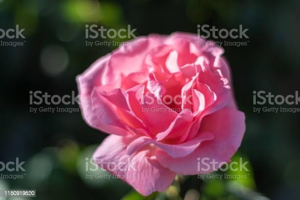 Pink rose in spring 2019 picture id1150919520?b=1&k=6&m=1150919520&s=612x612&h=xrq caygzdwtbs0wu9fs25m uwqy mc8zelg4zk1qek=