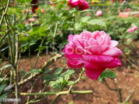 pink rose in the garden, beautiful pink color rose in garden, nature pink color rose.