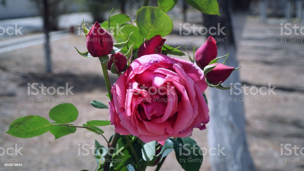 Pink rose in the garden with close up shot stock photo