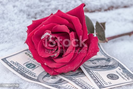 A beautiful pink rose lies in the snow on money, as an expensive gift and a symbol of love