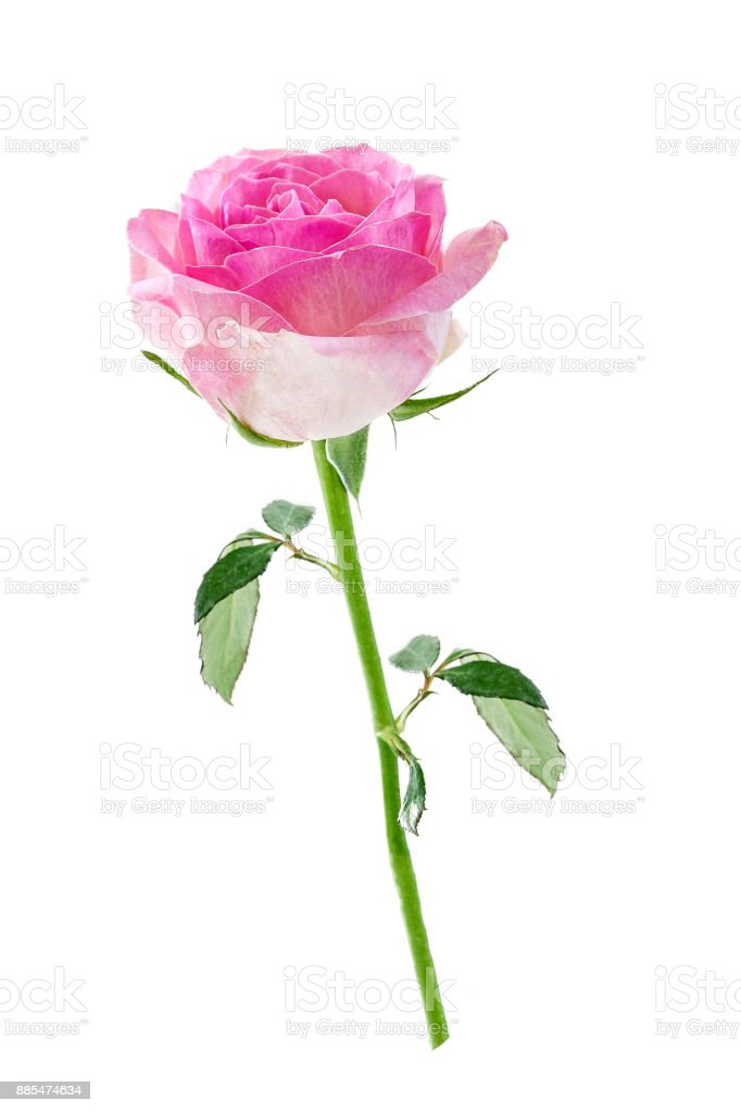 Pink rose. Isolated on a white, with clipping path. view from above stock photo