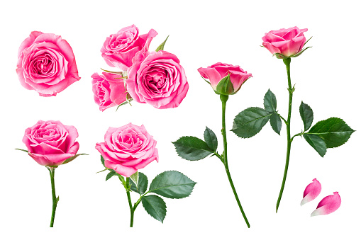 Roses, pink, white background, cutout, set