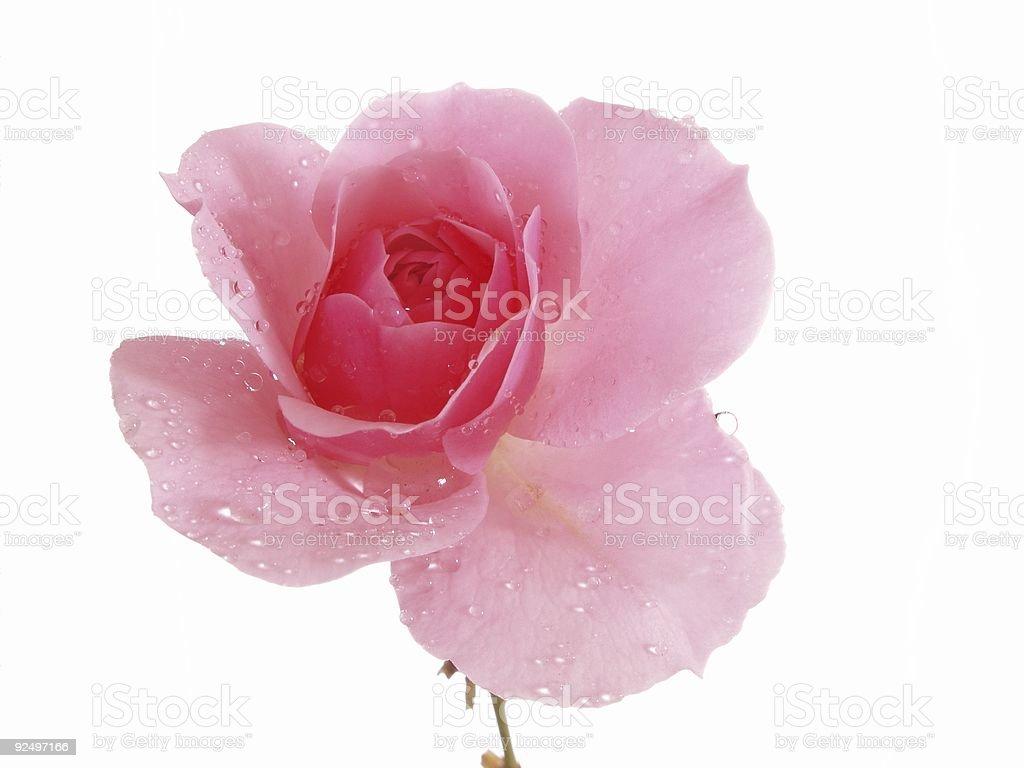 Pink Rose Isolated on White Background royalty-free stock photo