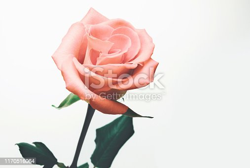 Close-up of pink rose, flowers blooming