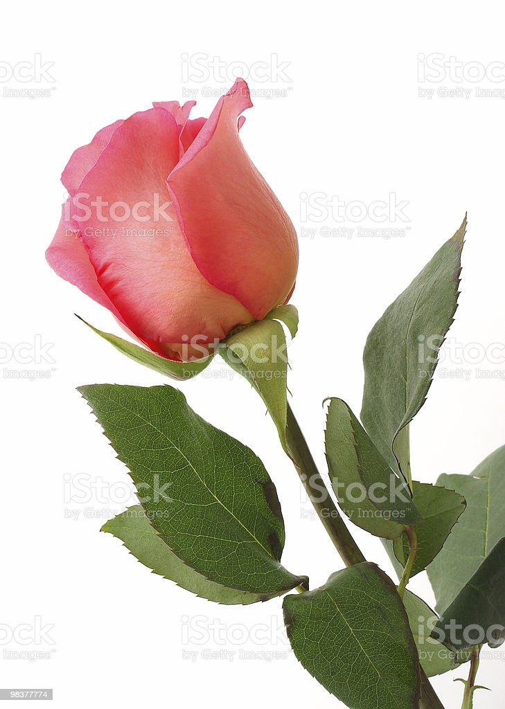 Pink rose isolated on white royalty-free stock photo