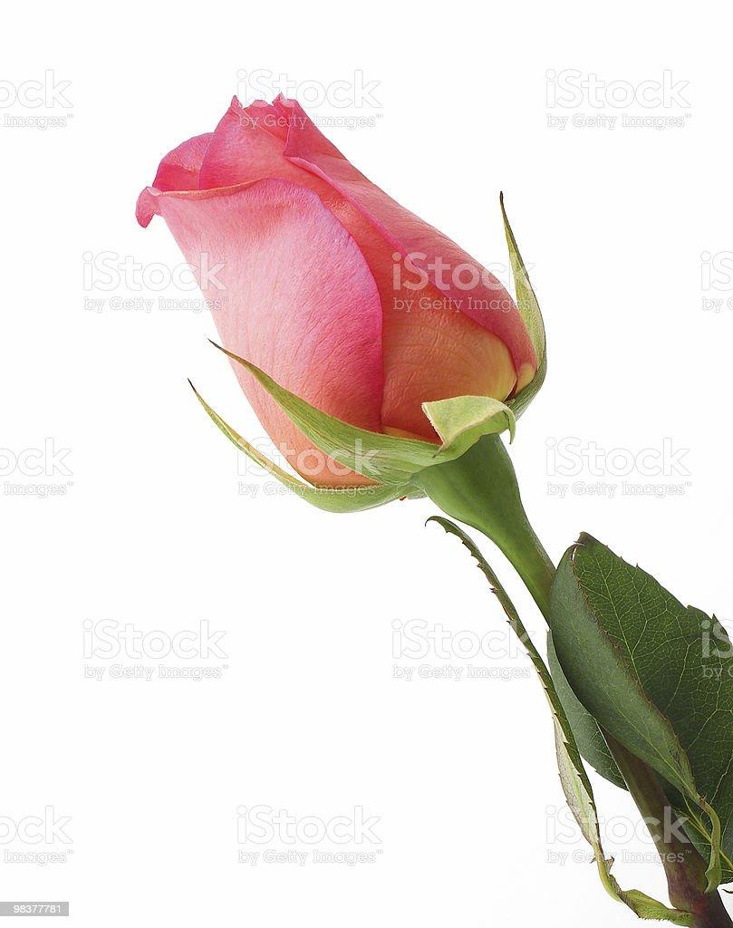 Rosa isolato su bianco foto stock royalty-free