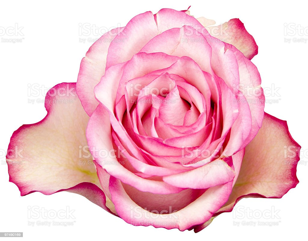 Pink Rose isolated on white with clipping path royalty-free stock photo