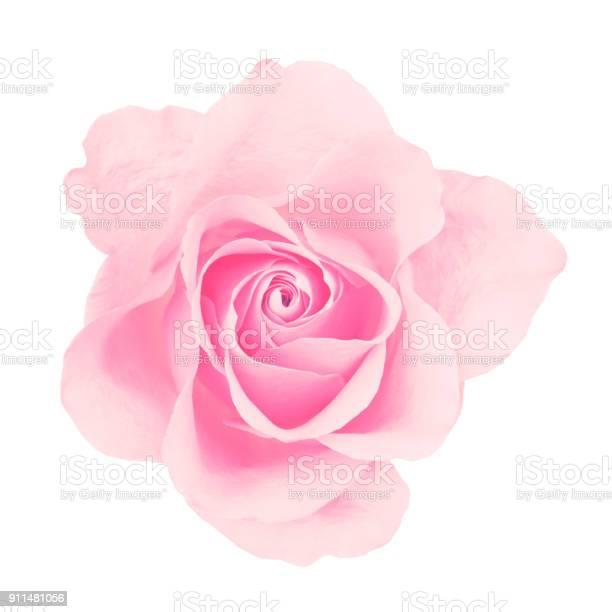 Pink rose isolated picture id911481056?b=1&k=6&m=911481056&s=612x612&h=pnaaa43hvupxk4hezobjtadgjeqtprcrsm0zdzwpjhi=