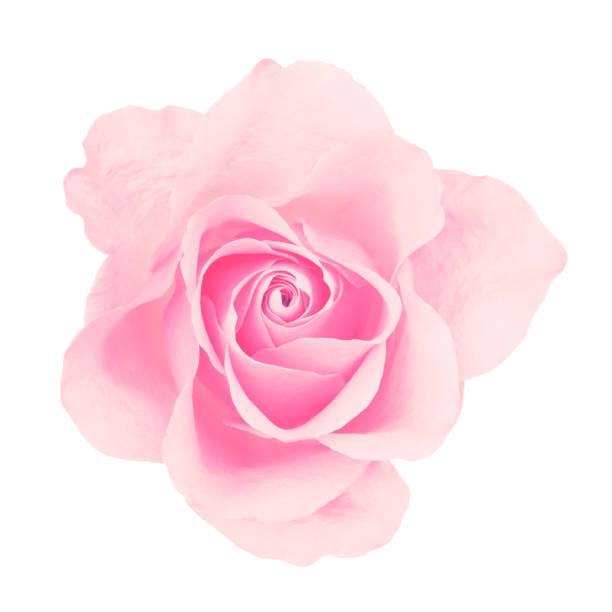 Pink rose isolated picture id911481056?b=1&k=6&m=911481056&s=612x612&w=0&h=g0z3a m1x6afulqpqni zkpyfxnk5rgolpj7ry471oi=