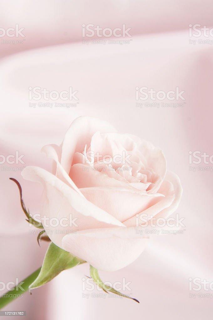 Pink rose on satin background royalty-free stock photo