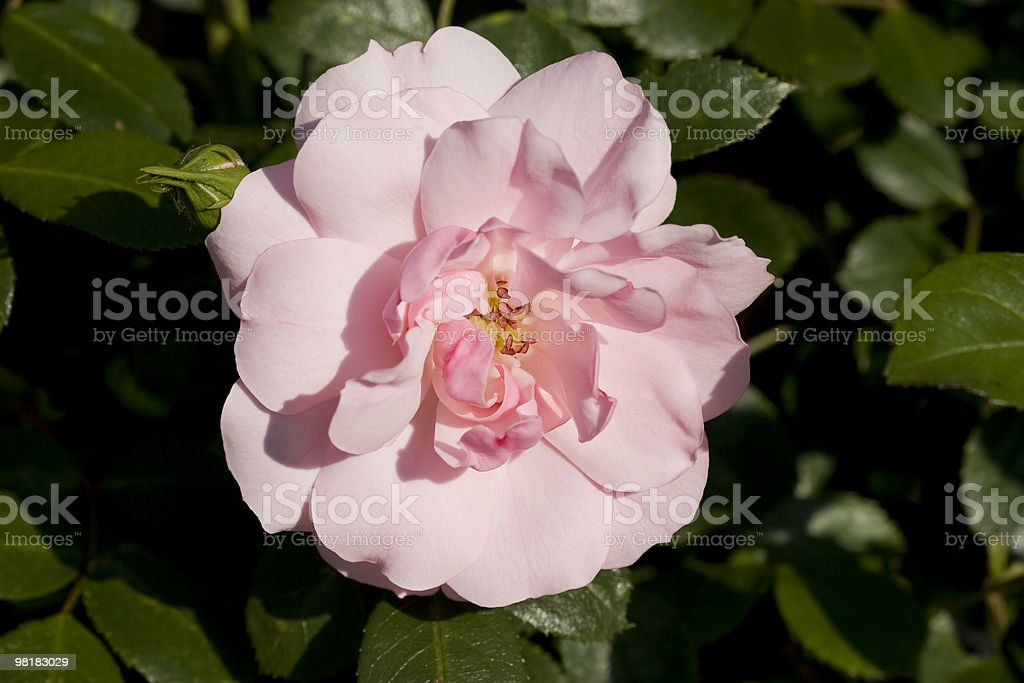 pink rose on the sunlight royalty-free stock photo